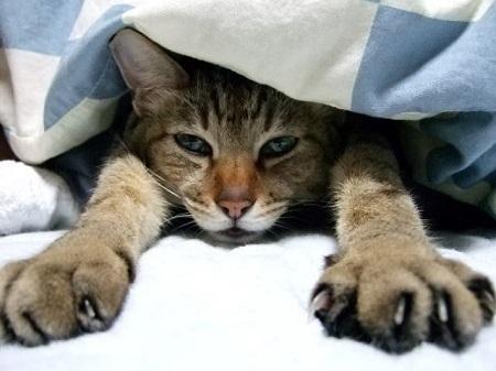 布団の中でノビをする猫