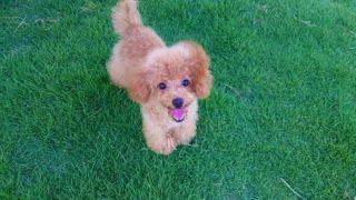 ニッコリ笑うトイプードルの子犬