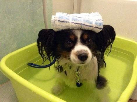 お風呂に入るパピヨン
